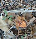 Not Sure of Species? - Araneus illaudatus - female