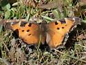 California Tortoiseshell.  Spooner Lake, Ca. - Nymphalis californica