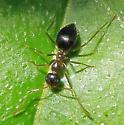 Unidentified Ant - Prenolepis imparis