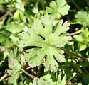 Plant it was on. - Spodoptera latifascia