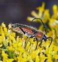 Hairy Red Elongate Beetle - Crossidius discoideus
