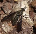 Bee Fly - Aldrichia ehrmanii