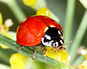 Coccinelidae - Cycloneda sanguinea