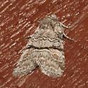 Brachylomia rectifascia
