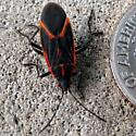Black & Red Beetle(?) - Boisea trivittata