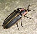 Firefly - Pyractomena borealis