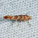 Gregarious Oak Leafminer - Cameraria cincinnatiella