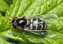 Diptera. Syrphidae. Dasysyrphus. - Dasysyrphus - female