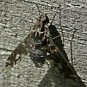 Fly - Xenox tigrinus