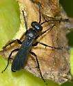 unknown black wasp - Arachnospila