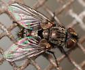 tachinid fly - Compsilura concinnata