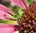 Tiny green grasshopper on coneflower - Schistocerca