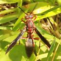 Black Tail Red Paper Wasp - Dorsal - Polistes metricus