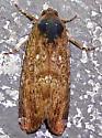 Magusa orbifera - Magusa divaricata