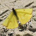 Cloudless Sulfur - Phoebis sennae - female