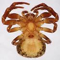 Ozyptila conspurcata - ventral - Ozyptila conspurcata - female
