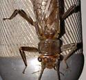Large stonefly - Acroneuria