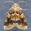 Moth for ID   - Schinia parmeliana