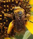 Bee on sunflower - Svastra obliqua