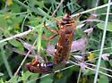 Cicada Killer - Sphecius speciosus - male - female