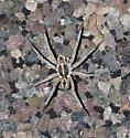 Spider - Hogna carolinensis