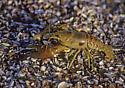 279704 Crayfish - Orconectes rusticus