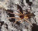 unknown spider - Pachygnatha autumnalis
