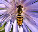 Toxomerus marginatus - female