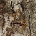 Giant Ichneumons - Megarhyssa atrata - male