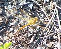 Great Lakes Dragonfly - Sympetrum costiferum