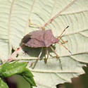 brown stink bug - Euschistus conspersus