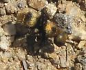 Velvet Ant - Dasymutilla aureola