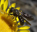 Wasp or bee - Pseudopanurgus aethiops - male
