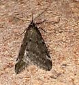 Alsophila pometaria - Fall Cankerworm - Hodges#6258? - Alsophila pometaria - male