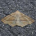 Synaxis jubararia - Tetracis