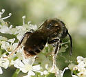 Bee ID Request - Andrena - male
