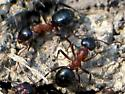 bicolored ants - Formica ulkei