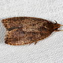 Unknown Micromoth - Psilocorsis