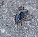 large ruddy roach found at night - Blatta orientalis