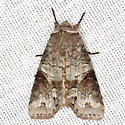 Alternate Woodling Moth - Hodges #10517 - Egira alternans