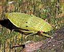 Gyponana sp. nymph - Gyponana