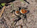 Large Orange Jumping Spider - Phidippus regius