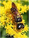 Square Headed Wasp - Ectemnius decemmaculatus