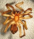 Unknown spider - Orodrassus coloradensis - female