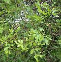 Zanthoxylum hirsutum (Rutaceae) hosting large number of Derospidea brevicollis - Derospidea brevicollis