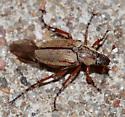 Rose Chafer Beetle - Macrodactylus