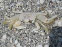 Ghost Crab - Ocypode quadrata