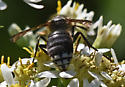 Dolichovespula 360A 6422 & 6424 7 6427 - Dolichovespula maculata