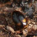 Minute hooded beetle (Corylophidae) - Clypastraea lunata