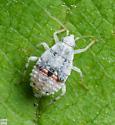 Hemiptera. Nymph - Deraeocoris